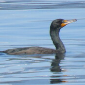 Cormorant surfaces