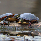 Painted Turtles - Mud Lake