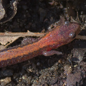 red-backed salamander