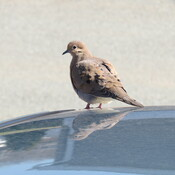 Dove on our car.
