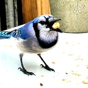 Blue jay breakfast
