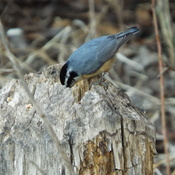 NUTHATCH having a SNACK