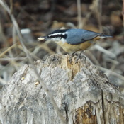 NUTHATCH with a SEED