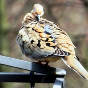 Good mourning dove
