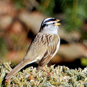 White-Crowned Sparrow Singing His Song