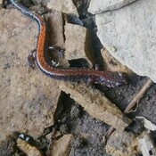 red backed salamander