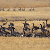 Mixed greater white-fronted geese and Canada geese