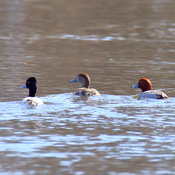 Redheads and a lesser scaup