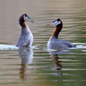 Red-necked grebe courtship