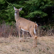 White-tailed deer in Whitemud Creek Ravine