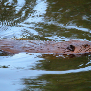 The beaver in the local pond