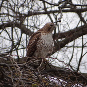 The hawk @ High Park