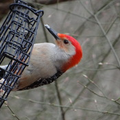Red-bellied Woodpecker @ High Park