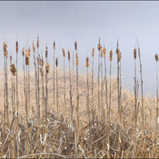 Cattails, Elliot Lake.