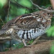 Ruffed Grouse in the Yard