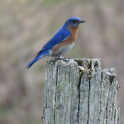banded male bluebird