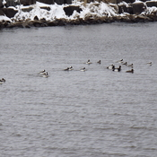 FLOCKS of GOLDENEYE`S
