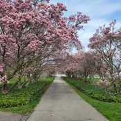 Pathway Along the Magnolias
