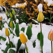 Snowy topped tulips in Trenton