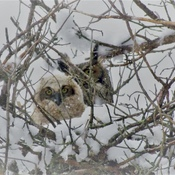 Baby Great-Horned Owl and Mom April 21, 2021