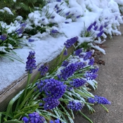 Grape Hyacinth in the Snow
