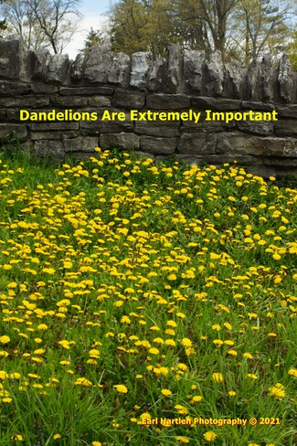 Dandelions Are Extremely Important Norfolk County, ON
