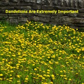 Dandelions Are Extremely Important