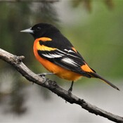 orioles are back