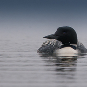 Loons on Scugog