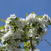White 'Maybride' Crabapple Blossoms
