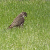 HAWK in the GRASS