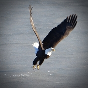 Eagle on the ice