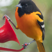 Oriole returns
