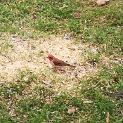 Red house finch
