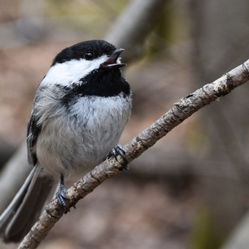 Chatty Chickadee