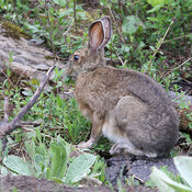 Snowshoe Hare blends into background