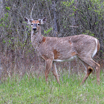 A Buck in spring
