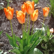 Beautiful Tulips on a Bright Sunny Morning