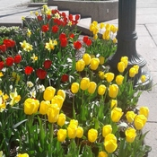 More bright coloured tulips