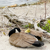 Mother Goose Snuggling Gosling