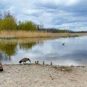 Canada Goose Family on Shore