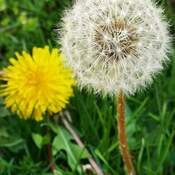 The last beauty! Dandelion Thornhill 12C May 8 2021