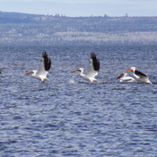PELICANS PRACTISING TAKE OFF
