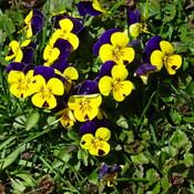 Pansies In My Lawn