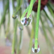 Raindrop on end of pine needles