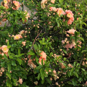 Chinese quince in bloom