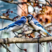 Kissing Blue jays