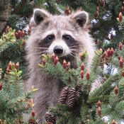 Cute little raccoon