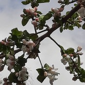 Apple Tree with busy bees