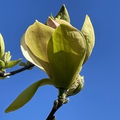 Yellowbird Magnolia